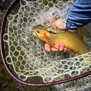 Wild Westslope Cutthroat Trout