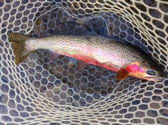 Late Winter Cutty all colored up